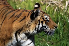 Μια τίγρη στο prowl που ψάχνει το επόμενο γεύμα του Στοκ φωτογραφία με δικαίωμα ελεύθερης χρήσης