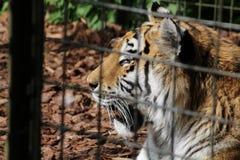 Μια τίγρη Στοκ φωτογραφία με δικαίωμα ελεύθερης χρήσης