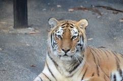 Μια τίγρη Στοκ φωτογραφίες με δικαίωμα ελεύθερης χρήσης