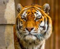 Μια τίγρη Στοκ Εικόνες