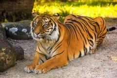 Μια τίγρη Sumatran, που χαλαρώνουν αλλά άγρυπνη στοκ φωτογραφία με δικαίωμα ελεύθερης χρήσης