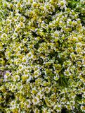 Μια τεράστια ανθοδέσμη ιατρικού chamomile στον πίνακα στοκ εικόνες με δικαίωμα ελεύθερης χρήσης