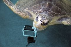 Μια τεράστια χελώνα εξετάζει μια κάμερα δράσης χελώνα στο ερευνητικό πρόγραμμα συντήρησης χελωνών ζώων αποταμίευσης θάλασσας σε B στοκ φωτογραφίες