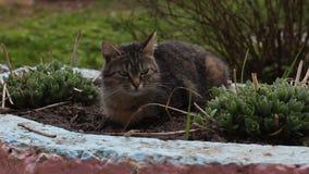 Μια τιγρέ γάτα βρίσκεται σε ένα κρεβάτι λουλουδιών, κινηματογράφηση σε πρώτο πλάνο απόθεμα βίντεο