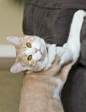 Μια τιγρέ γάτα κρέμας που πιάνεται στο νόμο Στοκ Εικόνα