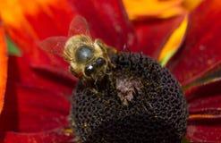Μια τραχιά μέλισσα σε ένα λουλούδι 13 Στοκ Εικόνα