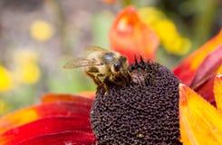 Μια τραχιά μέλισσα σε ένα λουλούδι 10 Στοκ Φωτογραφίες