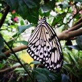 Μια τροπική πεταλούδα Στοκ Φωτογραφίες