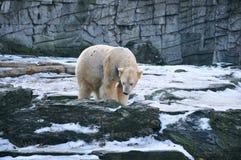 Μια τρυπημένη πολική αρκούδα στο ζωολογικό κήπο στοκ φωτογραφία με δικαίωμα ελεύθερης χρήσης