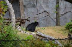 Μια των Άνδεων αρκούδα Στοκ Εικόνες
