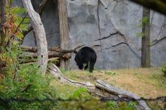 Μια των Άνδεων αρκούδα Στοκ εικόνες με δικαίωμα ελεύθερης χρήσης