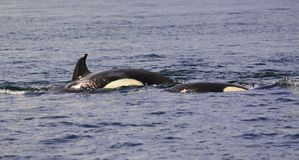 μια φάλαινα δολοφόνων βουτά κάτω Στοκ Εικόνα