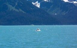 Μια φάλαινα που ταΐζει στο seward στοκ εικόνες με δικαίωμα ελεύθερης χρήσης