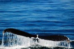 Μια φάλαινα μιας ουράς στοκ εικόνες