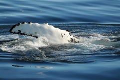 Μια φάλαινα Humpback σπάζει stillness του αρκτικού ωκεανού Στοκ εικόνες με δικαίωμα ελεύθερης χρήσης