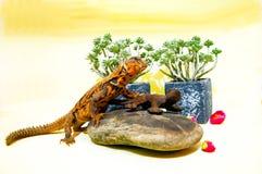 Μια φιλική σαύρα, σε ένα θερμό και ευρύχωρο terrarium στοκ φωτογραφίες με δικαίωμα ελεύθερης χρήσης