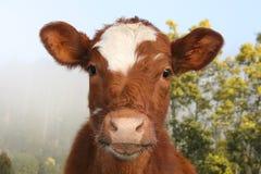 Μια φιλική εθνική αγελάδα πάρκων Στοκ Εικόνες