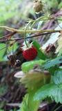Μια φράουλα Στοκ φωτογραφία με δικαίωμα ελεύθερης χρήσης