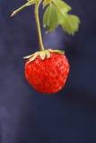 Μια φρέσκια οργανική φράουλα Στοκ Φωτογραφία