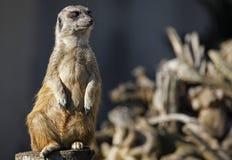 Μια φρουρά meerkat Στοκ Εικόνες