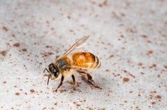 Μια φτερωτή μέλισσα Στοκ εικόνα με δικαίωμα ελεύθερης χρήσης