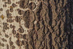 Μια φυσική κλίση στο φλοιό ενός δέντρου στοκ εικόνες