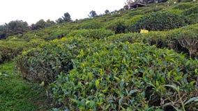 Μια φυτεία τσαγιού στην Κίνα στην επαρχία Yunnan στοκ φωτογραφία με δικαίωμα ελεύθερης χρήσης