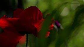 Μια φωτεινή κόκκινη παπαρούνα, προσελκύει τις μέλισσες Ελκυστικό, φωτεινό, κόκκινο χρώμα Στις παπαρούνες ανθών κήπων φιλμ μικρού μήκους