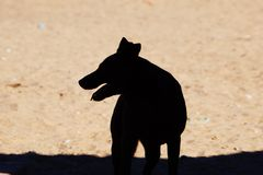 Μια φωτογραφία ενός αυστραλιανού σκυλιού kelpie στοκ φωτογραφία με δικαίωμα ελεύθερης χρήσης
