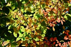Μια φωτογραφία κινηματογραφήσεων σε πρώτο πλάνο ενός κλάδου δέντρων με τα κόκκινα φύλλα φθινοπώρου, backlight στοκ εικόνα με δικαίωμα ελεύθερης χρήσης