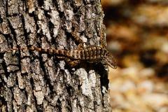 Μια φωτογραφία μιας ακανθωτής σαύρας σε ένα δέντρο στοκ φωτογραφία