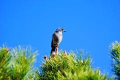 Μια φωτογραφία μιας μπλε jay συνεδρίασης πάνω από ένα δέντρο πεύκων στοκ φωτογραφία