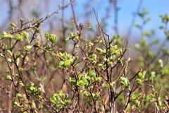 Μια φωτογραφία νέα φύλλα σε έναν θάμνο μουτζουρωμένο στοκ φωτογραφίες με δικαίωμα ελεύθερης χρήσης