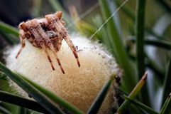 Μια φωτογραφία που παρουσιάζει κοινό diadematus Araneus αραχνών κήπων που φρουρεί τα πρόσφατα γεννημένα αυγά της στοκ φωτογραφίες με δικαίωμα ελεύθερης χρήσης