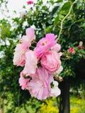 Μια φύση της αγάπης με τα μικρά τριαντάφυλλα στοκ εικόνα με δικαίωμα ελεύθερης χρήσης