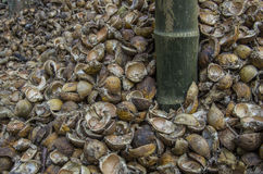 Μια φλούδα betel - καρύδι με betel - φοίνικας καρυδιών. στοκ εικόνα