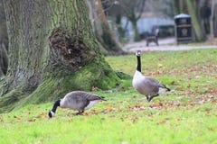 Μια χήνα δύο που περπατά στο πάρκο στοκ φωτογραφίες