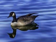 Μια χήνα στο μπλε νερό στοκ φωτογραφία με δικαίωμα ελεύθερης χρήσης