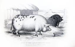 Μια χαραγμένη απεικόνιση της αγγλικής μεγάλης φυλής θηλυκών χοίρων από ένα β στοκ φωτογραφίες