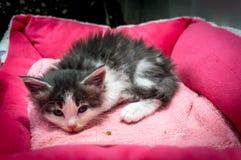 Μια χαριτωμένα γραπτά γάτα/ένα γατάκι σε ένα κατάστημα κατοικίδιων ζώων στην Οζάκα Στοκ φωτογραφία με δικαίωμα ελεύθερης χρήσης