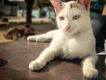 Μια χαριτωμένη άσπρη γάτα στοκ εικόνες με δικαίωμα ελεύθερης χρήσης