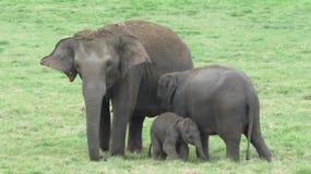 Μια χαριτωμένη οικογένεια ελεφάντων στη Σρι Λάνκα στοκ φωτογραφία