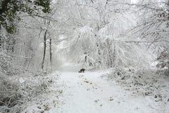 Μια χειμερινή σκηνή του μονοπατιού και των δέντρων που καλύπτονται στο χιόνι και ενός αγγλικού σκυλιού σπανιέλ αλτών που περπατά  Στοκ φωτογραφία με δικαίωμα ελεύθερης χρήσης