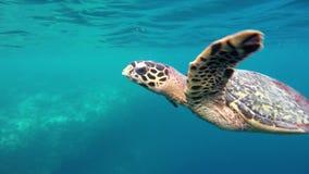 Μια χελώνα κολυμπά μέσω μιας κοραλλιογενούς υφάλου απόθεμα βίντεο