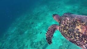 Μια χελώνα βουτά για να πιάσει τον αέρα απόθεμα βίντεο