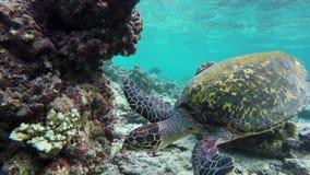 Μια χελώνα κολυμπά σε μια κοραλλιογενή ύφαλο φιλμ μικρού μήκους