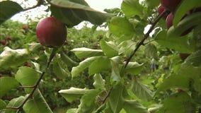 Μια χλόη και ένα μήλο απόθεμα βίντεο