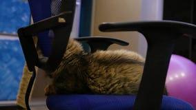 Μια χνουδωτή γάτα κάθεται σε μια καρέκλα γραφείων, αυτό ` s που στρίβεται εκεί HD, 1920x1080, σε αργή κίνηση φιλμ μικρού μήκους