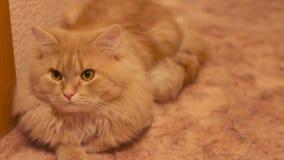 Μια χνουδωτή γάτα που εξετάζει τη κάμερα απόθεμα βίντεο