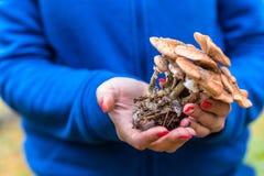 Μια χούφτα του mellea Armillaria μανιταριών στα χέρια της συλλεκτικής μηχανής μανιταριών Στοκ Εικόνες